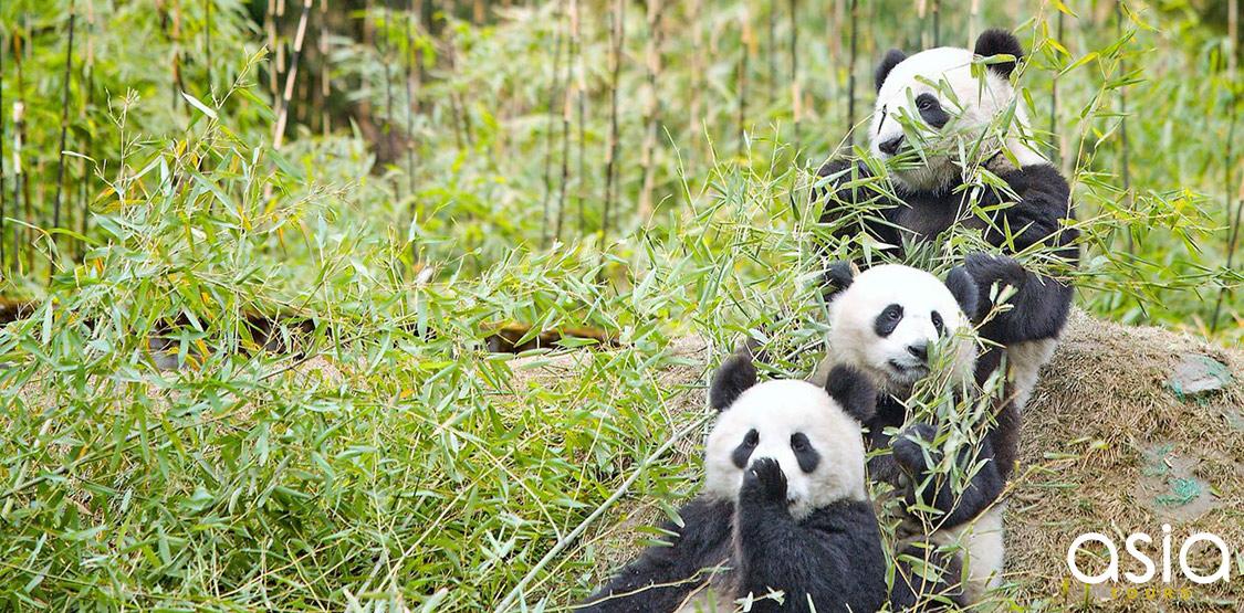 Sichuan Giant Panda